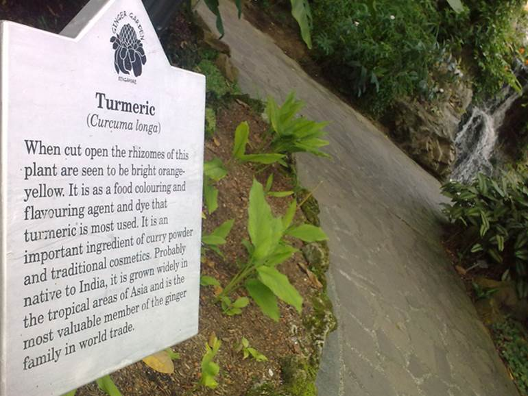 Turmeric plant in botanical gardens, Singapore