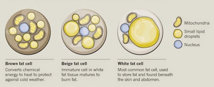 Brown Beige and White Fat Cells under microscope