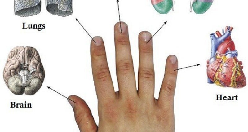 fingers connected with organs