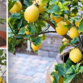 lemon tree at home