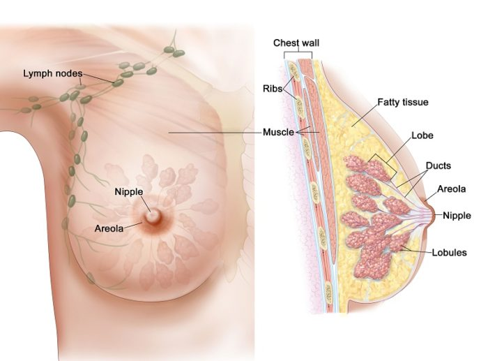 breast_female_anatomy_enlarge