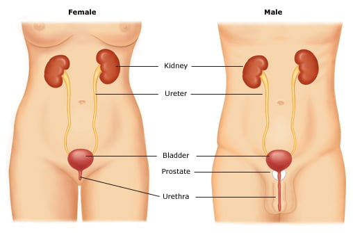 Urinary tract anatomy