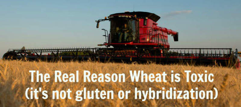 real reason wheat