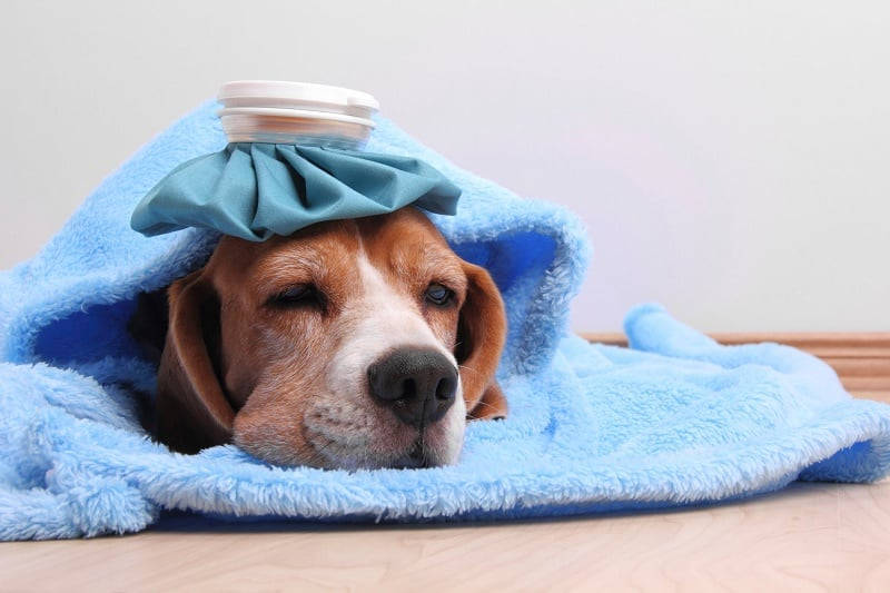 Can Dogs Catch Legionnaires Disease